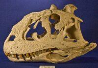Majungasaurus-cherep