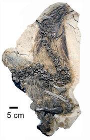 Beipiaosaurus fossil 02