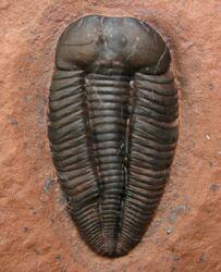 Nephalicephalus-beebeit