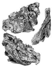 Тетрацератопс череп