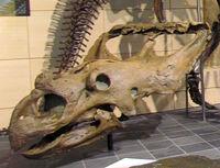 800px-Vagaceratops irvinensis, skull