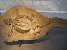 Скелет циамода