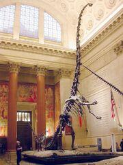 Barosaurus cast