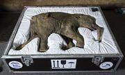 Lyuba-the-mammoth-014