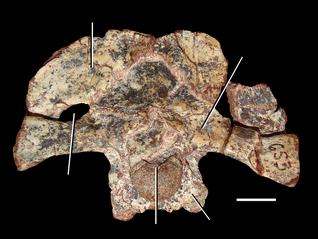 800px-Azendohsaurus madagaskarensis braincase