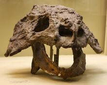 Череп скутозавра