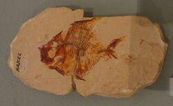 Aipichthys minor