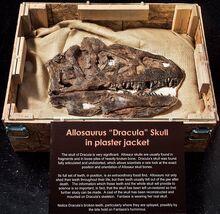 Skull Allosaurus «Dracula»