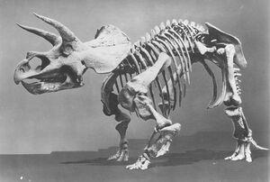 """Triceratops """"Hatcher"""""""