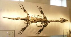 Atychodracon megacephalus (formerly Rhomaleosaurus, specimen LEICS G221.1851) skeleton, New Walk Museum, popularly known as the Barrow Kipper