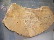 Compsognathus fossils