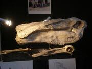 Deinocheirus skull 01