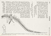 Diplodocus, Osborn, 1899
