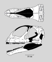 Jobaria skull