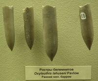 Ростры Oxyteuthis lahuseni