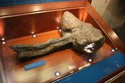 Ankylosaurid club