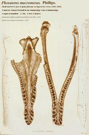 Pliosaurus macromerus skull