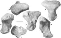 220px-Sibirotitan metatarsal