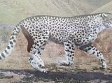 Европейский гепард