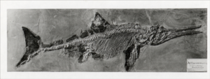 Archival photo of the first ichthyosaur specimen with a complete soft-tissue body