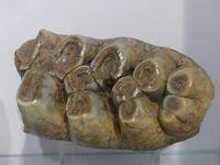 Anancus arvernensis