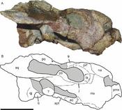 Bulbasaurus skull