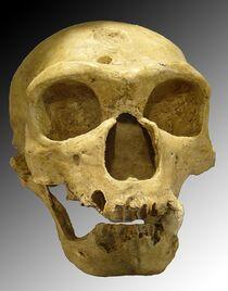 800px-Homo sapiens neanderthalensis
