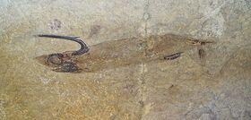 Falcatus falcatus из Монтаны