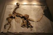 Camarasaurus-skeleton fossil