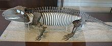 220px-Ophiacodon retroversus