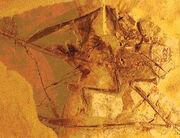 1Sordes pilosus holotype