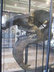 Deinotherium giganteum skull