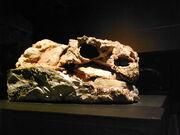 Pinacosaurus skull