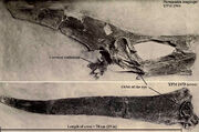 Pteranodon YPM 2594 and 2493 from Eaton (1910)