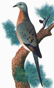 Странствующий голубь20