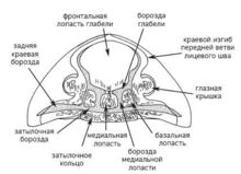 Цефалон трилобита