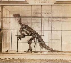 Iguanodon bernissartensis IRSNB R51 (specimen «Q»)