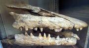 Челюсти хайнозавра
