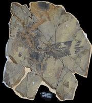 Caihong fossil