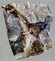 Jinfengopteryx fossil