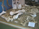 Mammuthus meridionalis in a museum of Stavropol (2 skeleton)