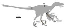 275px-Pyroraptor fossil 01