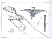 Reconstruction and life restoration of Dimorphodon, 1864
