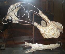 Ампелозавр 4