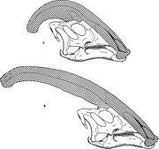 220px-Parasaurolophus skulls