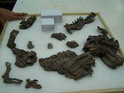 Eoraptor fossil