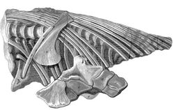 The torso ichthyosaur found by Mary Anning in 1812