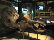 Nedoceratops skull