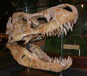Tyrannosaurus MOR 008