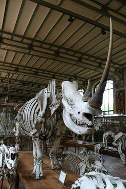 Шерстистый носорог Париж